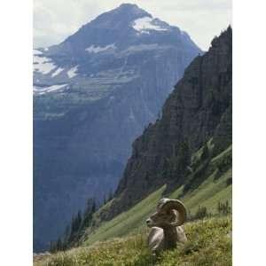 Bighorn Sheep Ram, Ovis Canadensis, Rests in an Alpine Meadow