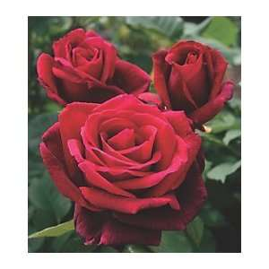 Mister Lincoln Hybrid Tea Rose: Patio, Lawn & Garden