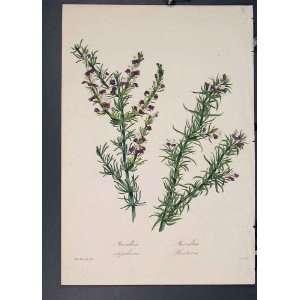 Muraltia Stipulacea Heisteria Flora Fauna Flower Art Home & Kitchen
