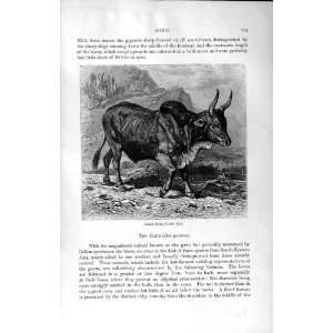 NATURAL HISTORY 1894 GALLA BULL OXEN GAUR UNGULATES: Home