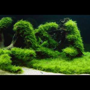 peacock Moss BOX  Live aquarium plant fish tank java gh