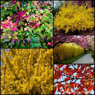 10 Forsythia Lynwood Gold Shrub Flower Pot Garden Plant