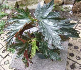 You will be bidding on a unrooted cutting of the Angel wing begonia
