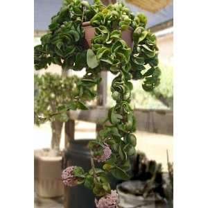 Hindu or Indian Rope Plant   Hoya   6 Hanging Basket